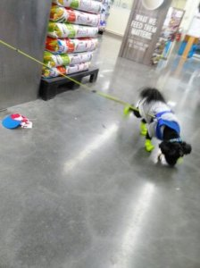 Trying on some new threads at Petco. He was not too happy about those shoes, or hat... Lol.